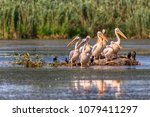 pelican colony in danube delta  ... | Shutterstock . vector #1079411297