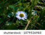 Ox-eye daisy, Leucanthemum vulgare, closeup of small white flower with many spiky petals on the forest ground.