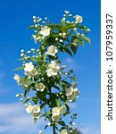 jasmine flower on the blue sky - stock photo