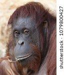 female orang utan | Shutterstock . vector #1079800427