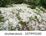 Reindeer moss - stock photo