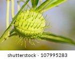 Small photo of Asclepias fruticosa, gomphocarpus fruticosus, swan plant, african milkweed, balloonplant