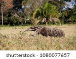 giant anteater in pantanal | Shutterstock . vector #1080077657