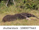giant anteater in pantanal | Shutterstock . vector #1080077663