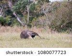giant anteater in pantanal | Shutterstock . vector #1080077723