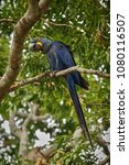 hyacinth macaw on a palm tree...   Shutterstock . vector #1080116507