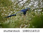 hyacinth macaw on a palm tree...   Shutterstock . vector #1080116513