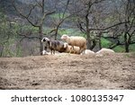 group of sheep standing on a... | Shutterstock . vector #1080135347