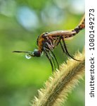 Small photo of Toxophora bee flies on grass with nature background.