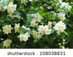 Jasmine tree in garden - stock photo