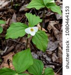 Small photo of Bright flower and green leaves of a large white trillium emerging in a spring forest.