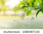 beautiful purple flower on tree ... | Shutterstock . vector #1080487133
