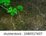 momordica charantia l. the... | Shutterstock . vector #1080517607