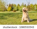 beautiful and smart golden... | Shutterstock . vector #1080533543