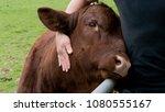 cow enjoys human hug | Shutterstock . vector #1080555167
