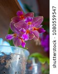beautiful orchid in a pot on... | Shutterstock . vector #1080559547