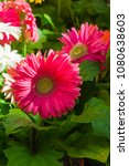 gerbera. purple gerbera flower... | Shutterstock . vector #1080638603