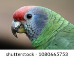 red tailed amazon | Shutterstock . vector #1080665753