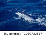 Small photo of Black marlin jump