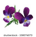 Two Violet Pansies With Leaves...