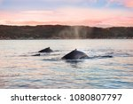 family of humpback whales in... | Shutterstock . vector #1080807797