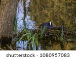 adult coot sitting on it's nest ... | Shutterstock . vector #1080957083