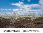 spring blooming garden  flowers ... | Shutterstock . vector #1080994043