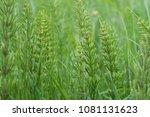 equisetum arvense  the field... | Shutterstock . vector #1081131623
