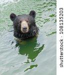 Swimming Bear