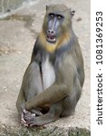 young male mandrill | Shutterstock . vector #1081369253