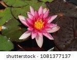 "pink red hybrid ""waterlily""... | Shutterstock . vector #1081377137"