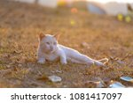 cat playing outside at sunset...   Shutterstock . vector #1081417097