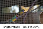 rainbow finches doing nothing...   Shutterstock . vector #1081457093