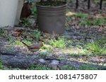 female northern cardinal... | Shutterstock . vector #1081475807