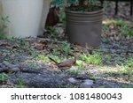 female northern cardinal... | Shutterstock . vector #1081480043