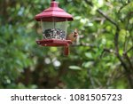 female northern cardinal... | Shutterstock . vector #1081505723