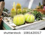 small cactus in a pot | Shutterstock . vector #1081620317