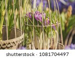 crocuses  crocuses or croci are ... | Shutterstock . vector #1081704497