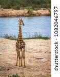 giraffe in kruger national park ...   Shutterstock . vector #1082046797