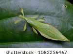beautiful leaf insect from... | Shutterstock . vector #1082256467