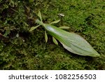 beautiful leaf insect from... | Shutterstock . vector #1082256503
