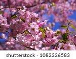 sakura tree flower | Shutterstock . vector #1082326583
