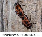 fire bugs on wood | Shutterstock . vector #1082332517