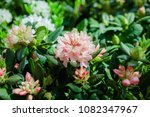 Soft Pink Rhododendrons...