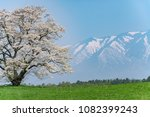 solitary cherry blossom in a... | Shutterstock . vector #1082399243