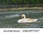 swan in spring rain on lake | Shutterstock . vector #1082497457