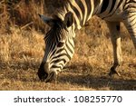 Zebra grazing. A closeup of a zebra head, feeding in dry winter grass plains in the Hluhluwe Umfolozi National Park. South Africa. - stock photo