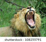 Lion Yawning. A male lion yawning in the late afternoon. Closeup & Canines exposed. Savuti National Park. Botswana. - stock photo