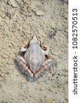 Small photo of Agile frog (Rana dalmatina)