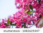 beautiful pink tree blossoms .... | Shutterstock . vector #1082625347
